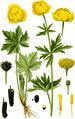 A, B blühende Pflanze; 1 und 2 Blüten; 3 Blüte nach Entfernung der äußeren Blütenhülle; 4 Blatt der inneren Blütenhülle, Grübchen mit Honigdrüse (=Nektarium); 5 Staubblatt; 6 kleines, halbreifes Fruchtköpfchen; 7 reifes Fruchtköpfchen; 8 einzelne Balgkapseln; 9 Same; 10 desgleichen im Querschnitt 4, 5, 8 bis 10 vergrößert (Tafel 252 aus Thomé & Müller, Bd.2, 1904)