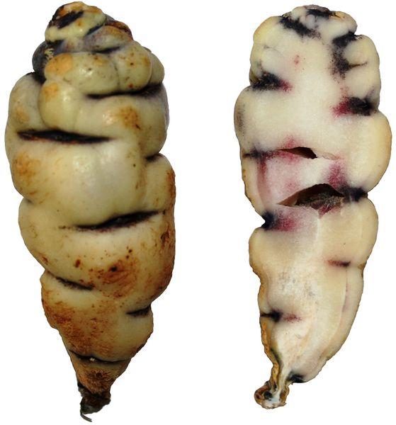 Fichier:Tropaeolum tuberosum4.jpg
