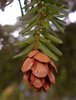 Zapfen von Tsuga heterophylla