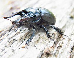 Stierkäfer: Männchen - Siga, CC BY-SA 3.0