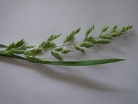 Rispe von Phalaris arundinacea
