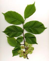 Bergulme: Frucht– MPF, CC BY-SA 3.0