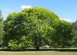 Bergulme: Pflanze– Melburnian, CC BY-SA 3.0