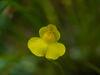 Datei:Utricularia_intermedia_flower_(A.Fleischmann).JPG