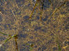 Utricularia minor vegetativ (A.Fleischmann).JPG