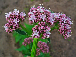 Blüte– H. Zell, CC BY-SA 3.0
