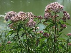 Echter Baldrian: Blüte– Burkhard Mücke, CC BY-SA 4.0