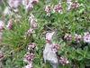 Valeriana supina Duerbye 3741 2.jpg