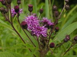 alt=Description of Vernonia noveboracensis 1.JPG picture.