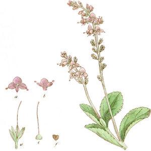 aBlüte mit 4 Blütenblättern, wobei das nach unten am kleinsten ist; 2 Staubblätter und Stempel. beine ähnliche Blüte vom Blütenboden weggezogen und seitlich betrachtet, die Staubblätter sind an der Blütenspitze angebracht nicht am Stempel.– cStempel und Früchte vergrößert. dKelch mit Stempel und unreifer Frucht.– fSamenkapsel in natürlicher Größe—Abbildung aus Palmstruch u.a. (1804)