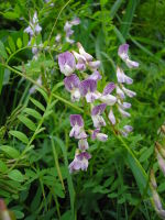 Krautige Fabaceae
