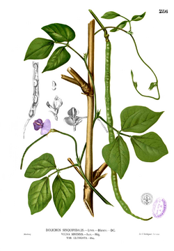 alt=Description of Vigna unguiculata Blanco2.286.png picture.