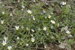 Acker-Stiefmütterchen: Pflanze– Olivier Pichard, CC BY-SA 3.0