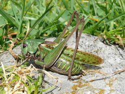 Warzenbeißer: Männchen - Harald Süpfle, CC BY-SA 2.5