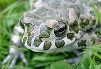 Wechselkröte– Bufo viridis