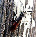 Arachnospila anceps:  Schnebele boris karl holger, CC BY-SA 4.0
