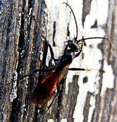 Rotschwarze Spinnenwespe: Alttier (adult) - Schnebele boris karl holger, CC BY-SA 4.0