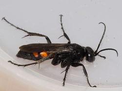 Frühlings-Wegwespe: Weibchen - gbohne, CC BY-SA 2.0