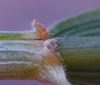 Weizen Blattgrund