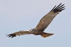 Männchen im Flug - Boldings, CC BY-SA 3.0