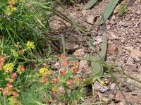 Westl. Smaragdeidechse: Weibchen, Nahetal (Photo: Paul Bachhausen)
