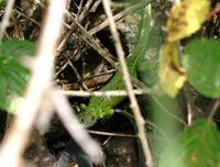 Westl. Smaragdeidechse: Versteckt in Dornenvegetation, Nahetal (Photo: Paul Bachhausen)