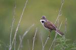 Dorngrasmücke – Sylvia communis:  GR3Z, CC0