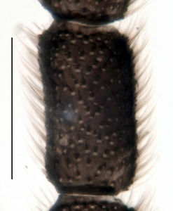 Figure 6. Trichosiopsis hirsutissima male, 4th antennal flagellomere, scale 0.1 mm