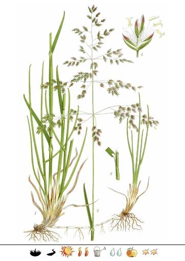 Wiesen-Rispengras (Pflanzentafel Natura Miriquidica e.V.).pdf