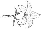 Wiesenglockenblume.png