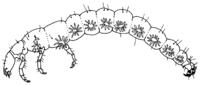 Rhyacophila spec.