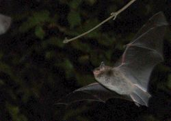 Wasserfledermaus im Nachtflug - Guido Gerding, CC BY-SA 3.0