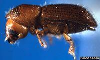 Xyleborus affinis IPM5158060.jpg