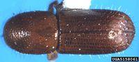 Xyleborus affinis IPM5158061.jpg