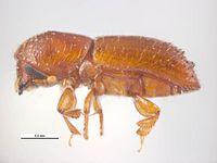 Xyleborus ferrugineus PaDIL135995a.jpg