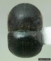 Xylosandrus mutilatus IPM1413002.jpg