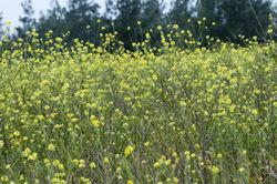 Acker-Senf: Pflanze– Zeynel Cebeci, CC BY-SA 4.0