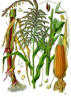 alt=Description of Zea mays - Köhler–s Medizinal-Pflanzen-283.jpg picture.