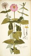 Zinnia elegans - 001x.jpg