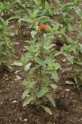 Zinnia peruviana - Botanischer Garten Mainz IMG 5574.JPG