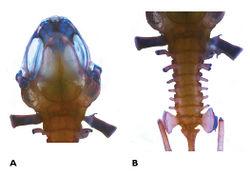 Figure 2. Photos of A skull, and B vertebral column of Paedophryne kathismaphlox (BPBM 35353).