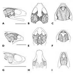Figure 4. A Dorsum B ventrum C side of head D palmar view of left hand, and E plantar view of left foot of holotype of Paedophryne kathismaphlox (BPBM 17977).