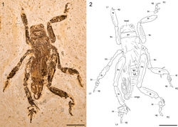 Figures 1-2. Schizodactylus groeningae (Martins-Neto, 2007), comb. n. from the Lower Cretaceous Crato Formation of Brazil. 1 Photograph of MfNB-I.2079 2 Camera lucida drawing of MfNB-I.2079. Abbreviations: R1 – right prothoracic leg; L1 – left prothoracic leg; R2 – right mesothoracic leg; L2 – left mesothoracic leg; R3 – right metathoracic leg; L3 – left metathoracic leg; bt – basitarsus; fm – femur; pn – pronotum; tb – tibia; tr – trochanter; ug – ungues. Scale bars represent 10 mm.
