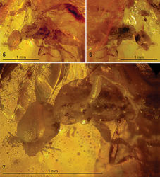 Figures 3–7. New Jersey amber containing specimens of Plumalexius rasnitsyni sp. nov. 3 Specimen NJ-695, holotype (circled) 4 Specimen NJ-175, paratype (circled) 5–7 Specimen NJ-695, holotype 5  Ventrolateral view 6 Dorsolateral view 7 Detail, ventrolateral view.