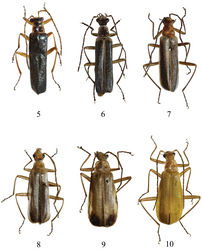 Figures 5–10. Male habitus, dorsal view 5 Fissocantharis yui sp. n. 6 Fissocantharis semimetallica sp. n. 7 Fissocantharis bicolorata sp. n. 8 Fissocantharis maculiceps sp. n. 9 Fissocantharis bimaculata sp. n. 10 Fissocantharis flava sp. n.