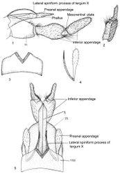 Figures 1–5. Kisaura clavata sp. n. 1 Male genitalia, lateral 2 Inferior appendage, dorsal 3 Tergite VIII, dorsal 4 Preanal appendage, dorsal 5 Male genitalia, dorsal. Abbreviations: VIII, IX, X = abdominal segments VIII, IX, and X, respectively