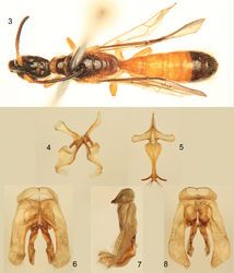Figures 3–8. Photomicrographs of male paratype (SEMC) of Chilicola (Hylaeosoma) kevani Oliveira, Mahlmann, and Engel sp. n. 3 Dorsal habitus 4 Seventh metasomal sternum 5 Eighth metasomal sternum 6 Genital capsule, dorsal view 7 Genital capsule, lateral view 8 Genital capsule, ventral view.