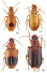 Figures 16–19. Habitus of Singilis: 16 Singilis discoidalis (Mateu, 1986) (Israel, Arava-Tal, S Zofar) 17 Singilis fuscoflavus (Felix & Muilwijk, 2009) (Oman bor., Prov. Batinah) 18 Singilis plagiatus (Reiche & Saulcy, 1855) (Libanon, O v. Saida) 19 Singilis libani Sahlberg, 1913 (Israel, Golan Mach).