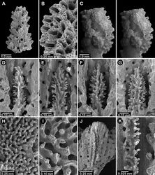 Figure 10. Errinopora nanneca, A–C female holotype, D–K USNM 96252: A–B dactylopore spines on branch tips C stereo view of clustered female ampullae D–G lateral views of gastrostyles H–I coenosteal texture J–K dactylostyle.