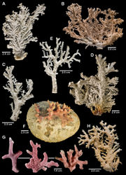 Figure 17. Color figures of skeleton of various Alaskan stylasterids: A–D Stylaster campylecus E Stylaster leptostylus F–G Stylaster venustus H Stylaster trachystomus A holotype, USNM 42870 B holotype of Allopora polyorchis, USNM 43266 C syntype of Allopora campyleca tylota, USNM 86000 D holotype of Allopora moseleyanus, USNM 42869 E holotype of Allopora moseleyanus leptostylus, USNM 43270 F holotype, MCZ 5525 G three branches, USNM 76545 H holotype, USNM 43265.